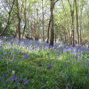 PASHLEY MANOR GARDENS Bluebells By Kate Wilson