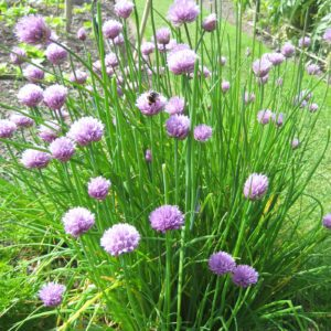PASHLEY MANOR GARDENS Chives By Kate Wilson