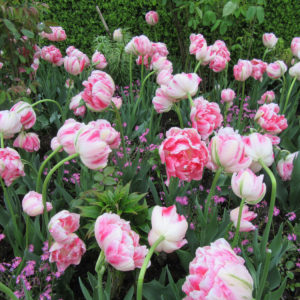 PASHLEY MANOR GARDENS Pink Tulips By Kate Wilson