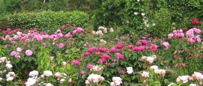 Special Rose Week