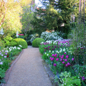 Pashley Manor Gardens Tulips In Stellata Beds 2017 By Kate Wilson