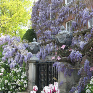 PASHLEY MANOR GARDENS Wisteria And Tulips By Kate Wilson