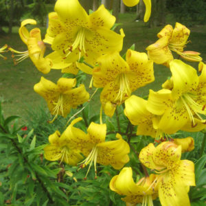 PASHLEY MANOR GARDENS Yellow Lilies By Kate Wilson