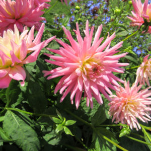 PASHLEY MANOR GARDENS Pink Dahlias By Kate Wilson
