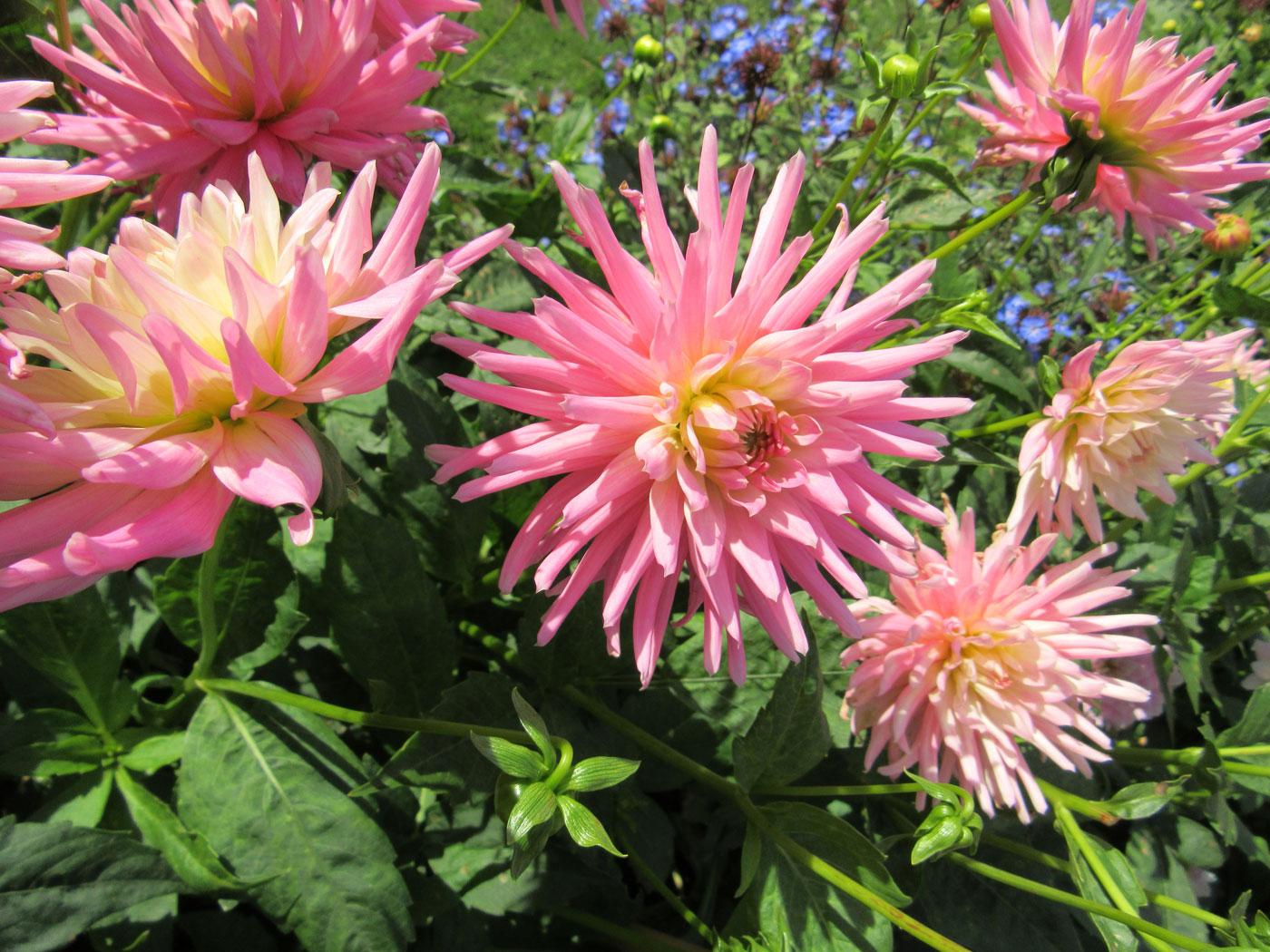 PASHLEY MANOR GARDENS Pink Dahlias By Kate Wilson