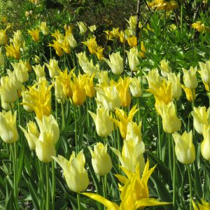 PASHLEY MANOR GARDENS Yellow Tulips 2 By Kate Wilson Crop Smaller