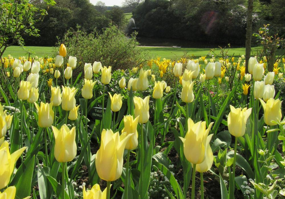 PASHLEY MANOR GARDENS Yellow Tulips By Kate Wilson