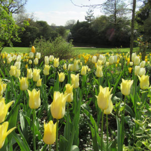 Pashley Manor Gardens Yellow Tulips By Kate Wilson