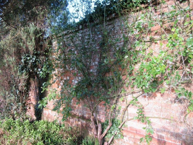 Climbing Rose Before Pruning