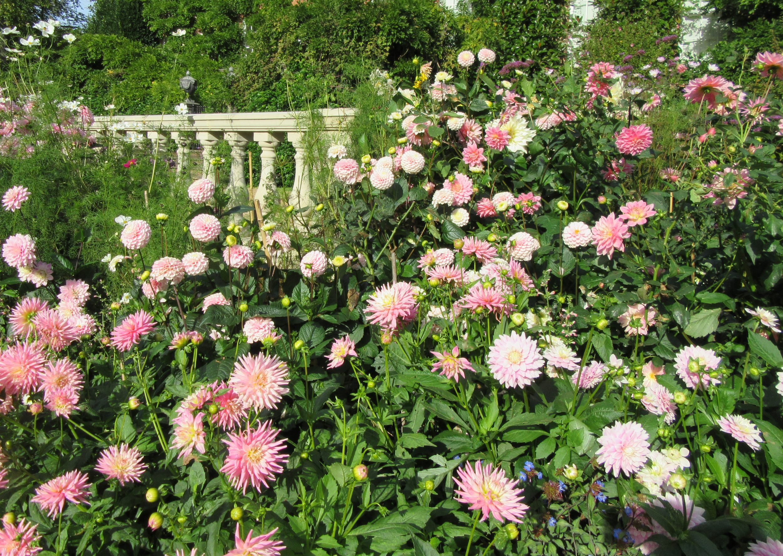 PASHLEY MANOR GARDENS Pink dahlias and Terrace by Kate Wilson