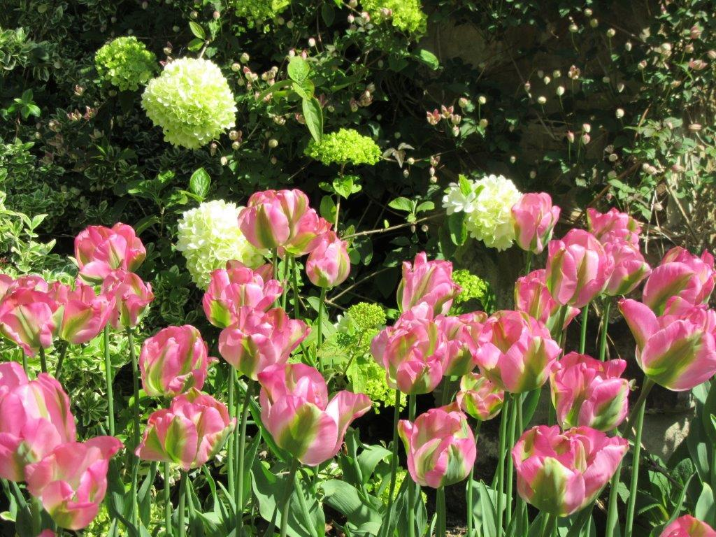 If You Would Like To Order Tulip Bulbs …
