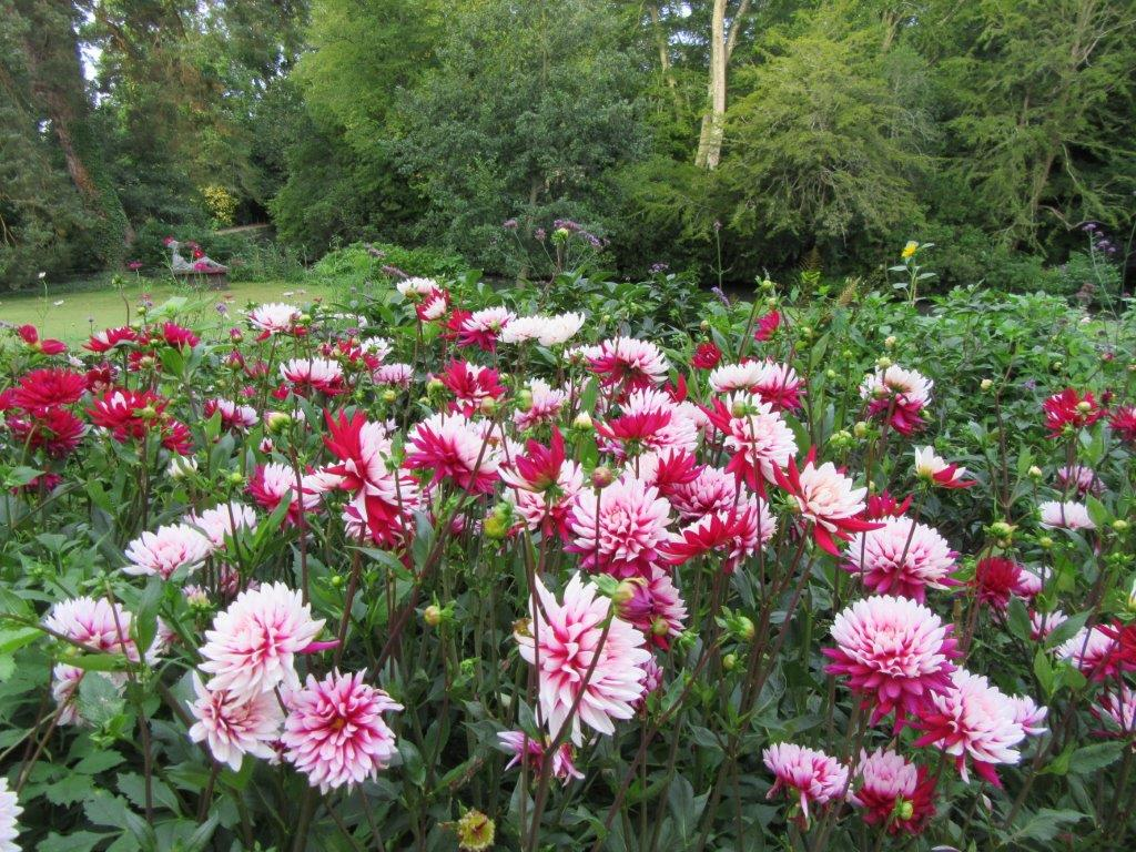 Dahlias Looking Gorgeous Through August And September